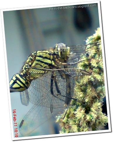 dragonfly eating dragonfly _foto capung badak makan capung 3