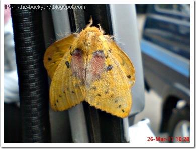 Trabala ganesha_Ngengat_Moth