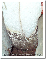 weird white mushroom_jamur ular 4