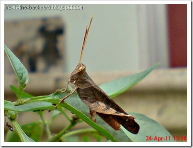 brown grasshopper10