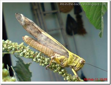 Valanga nigricornis_Javanese Grasshopper_belalang kayu 13