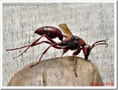 Polistes tenebricosus_Paper Wasp 6