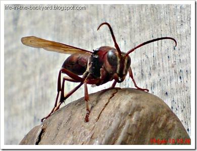 Polistes tenebricosus_Paper Wasp 5