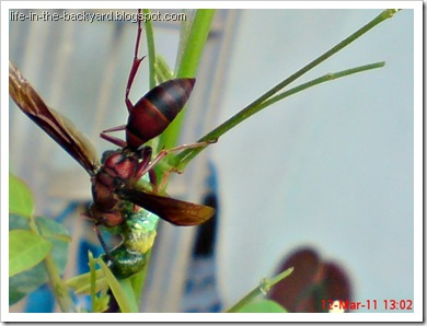 wasp caught and cut its prey 8