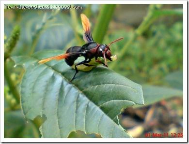 Rhynchium haemorrhoidale_tawon_Potter Wasp 1