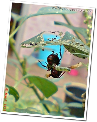 Rhynchium haemorrhoidale_tawon_Potter Wasp 3