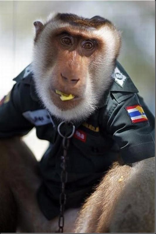 Policial macaco na Thailandia (5)