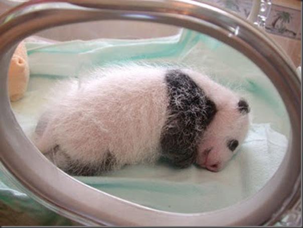bebe panda (5)