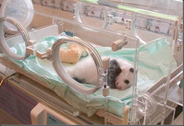 bebe panda (8)