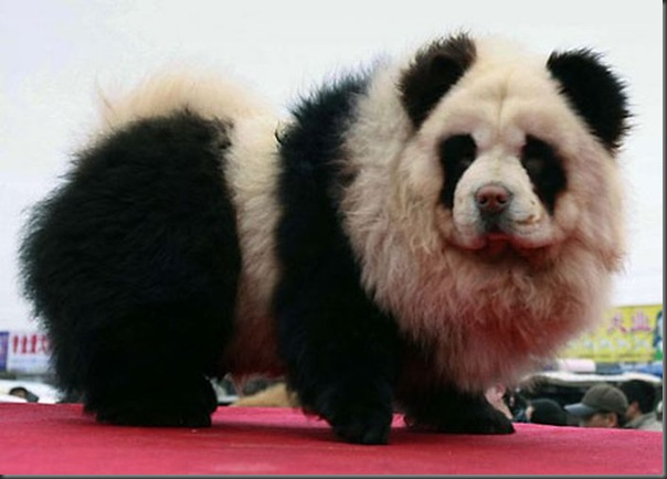 Cães pandas e tigres na China (9)