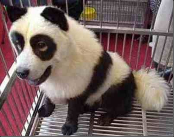 Cães pandas e tigres na China (6)