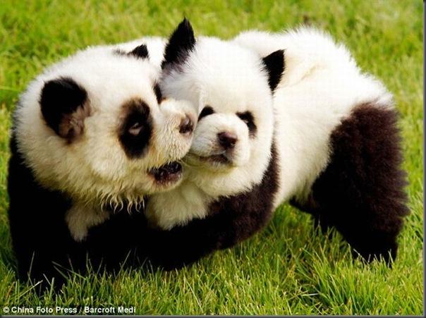 Cães pandas e tigres na China (4)