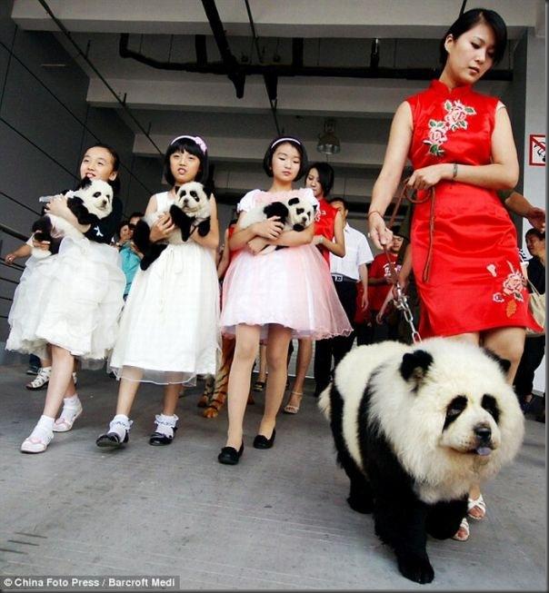 Cães pandas e tigres na China (3)