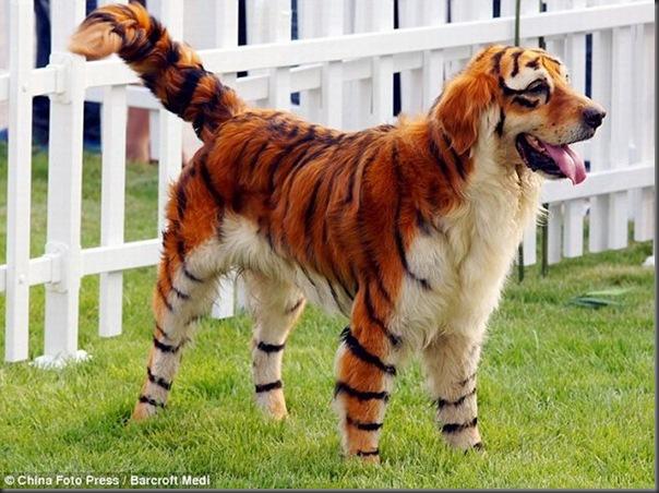 Cães pandas e tigres na China (2)