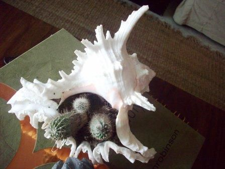Shell bought at Kovalam - planted with Cacti