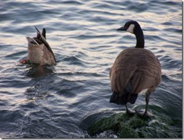 656257_canadian_geese