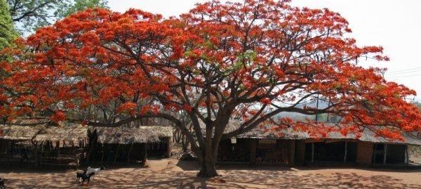 Flamboyant tree in Africa