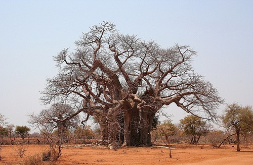 Baobab tree