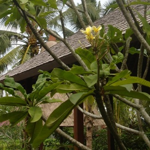 Frangipani tree in Villa Sabandari, a star hotel for yoga training in Ubud, Bali