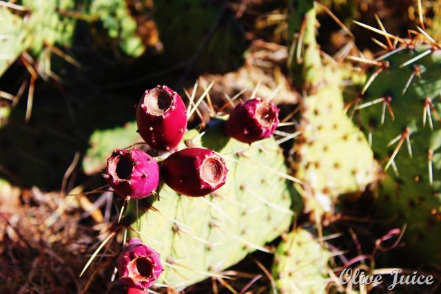 Cactus Pear 2
