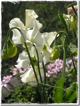 hvite erteblomst