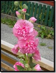 stokkrose rosa