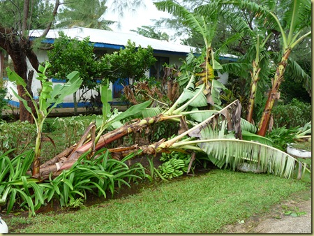 Uproot banana tree from Hurricane