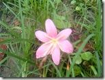 Pink_Rain_Lily