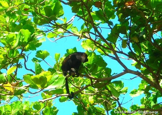 Costa Rican Monkey Looking for food