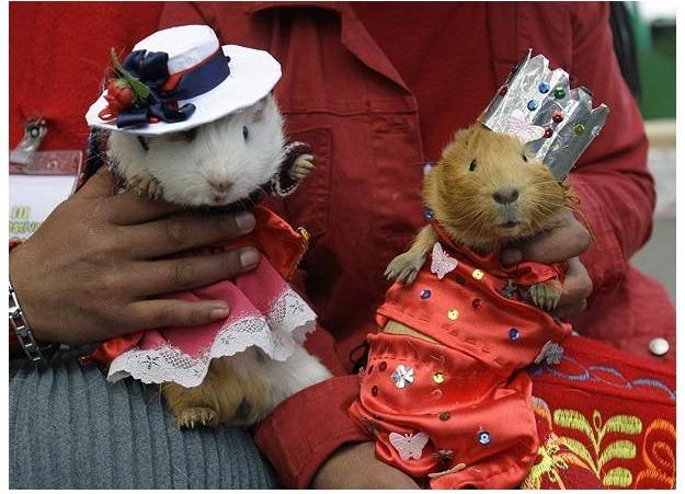 guinea-pig-festival (8)
