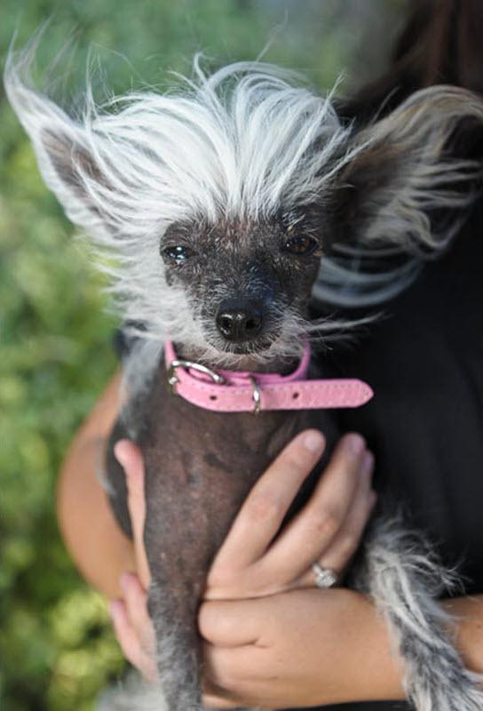 ugliest-dog (9)