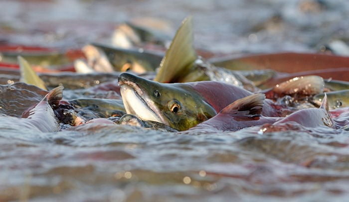 When sockeye rush spawning rivers in large number, the fish push each other out of the water/n