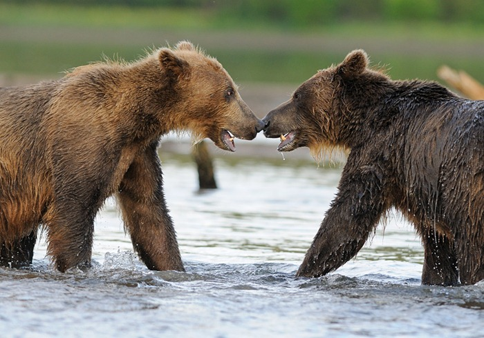 Encounter/n South Kamchatka Sanctuary<><>South Kamchatka Sanctuary; Kuril Lake; Kamchatka; bear; salmopn; spawning