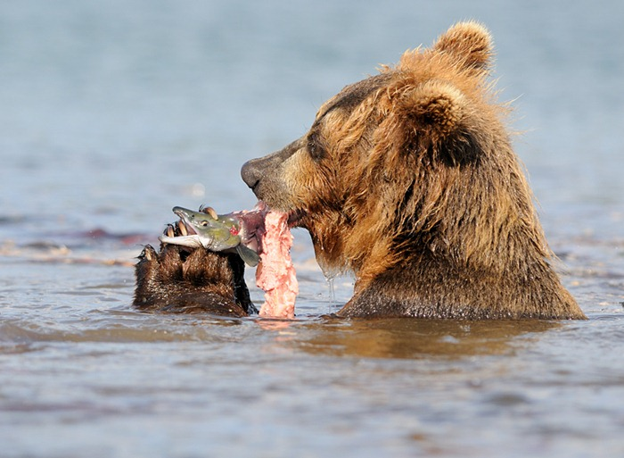 Predator and prey/n South Kamchatka Sanctuary<><>South Kamchatka Sanctuary; sockeye; Kamchatka; bear; Kuril Lake; salmon; spawning