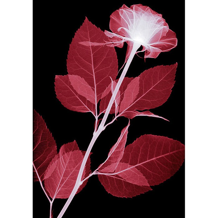X Ray Flowers...***EXCLUSIVE*** UNSPECIFED - UNDATED: Rose, coloured X-ray. These mesmerising shots are the fruit of years of careful experimentation by artist Hugh Turvey, using x-rays to really get under the surface of things. The technique, which came about thanks to a chance commission from a musician friend who wanted an x-ray image, has been 14 years in the making and has now been so well honed by Hugh that his work is becoming highly sought after. The flowers are the latest in a long line of subjects, including motorbikes, suitcases and stiletto-clad feet. PHOTOGRAPH BY SPL / BARCROFT MEDIA LTD UK Office, London. T +44 845 370 2233 W www.barcroftmedia.com USA Office, New York City. T +1 212 564 8159 W www.barcroftusa.com Indian Office, Delhi. T +91 114 653 2118 W www.barcroftindia.com Australasian & Pacific Rim Office, Melbourne. E info@barcroftpacific.com T +613 9510 3188 or +613 9510 0688 W www.barcroftpacific.com