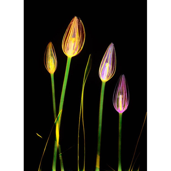 X Ray Flowers...***EXCLUSIVE*** UNSPECIFED - UNDATED: Coloured X-ray of tulip flowers. These mesmerising shots are the fruit of years of careful experimentation by artist Hugh Turvey, using x-rays to really get under the surface of things. The technique, which came about thanks to a chance commission from a musician friend who wanted an x-ray image, has been 14 years in the making and has now been so well honed by Hugh that his work is becoming highly sought after. The flowers are the latest in a long line of subjects, including motorbikes, suitcases and stiletto-clad feet. PHOTOGRAPH BY SPL / BARCROFT MEDIA LTD UK Office, London. T +44 845 370 2233 W www.barcroftmedia.com USA Office, New York City. T +1 212 564 8159 W www.barcroftusa.com Indian Office, Delhi. T +91 114 653 2118 W www.barcroftindia.com Australasian & Pacific Rim Office, Melbourne. E info@barcroftpacific.com T +613 9510 3188 or +613 9510 0688 W www.barcroftpacific.com