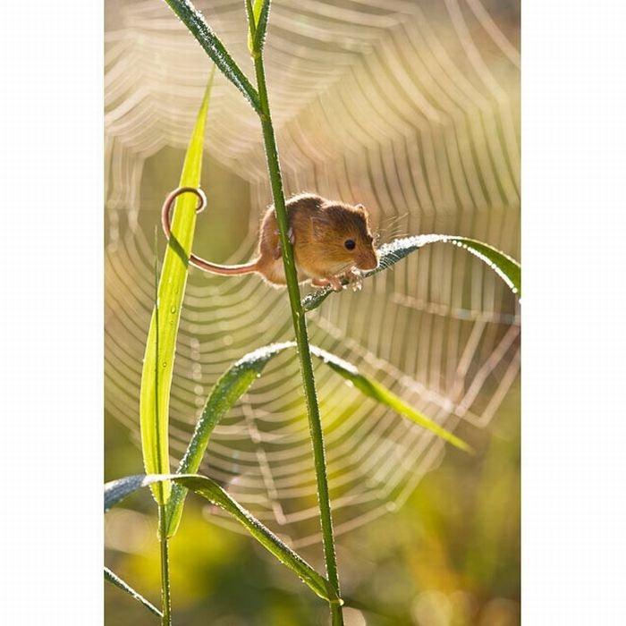harvest-mice (13)