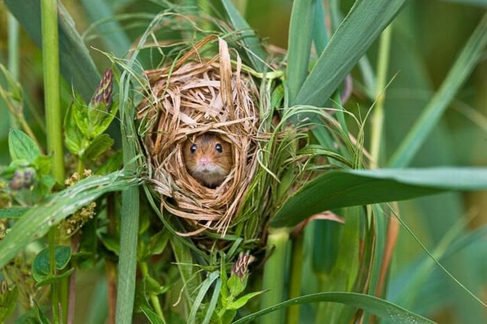 harvest-mice (2)