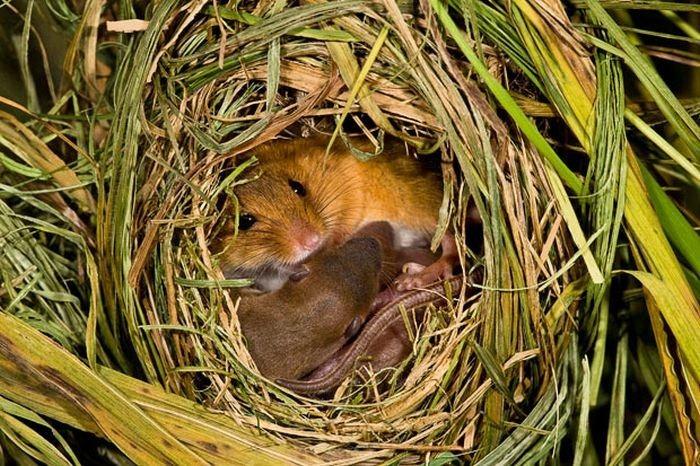 harvest-mice (12)
