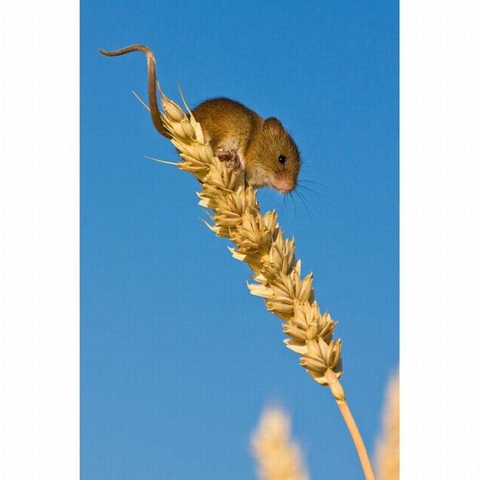 harvest-mice (1)