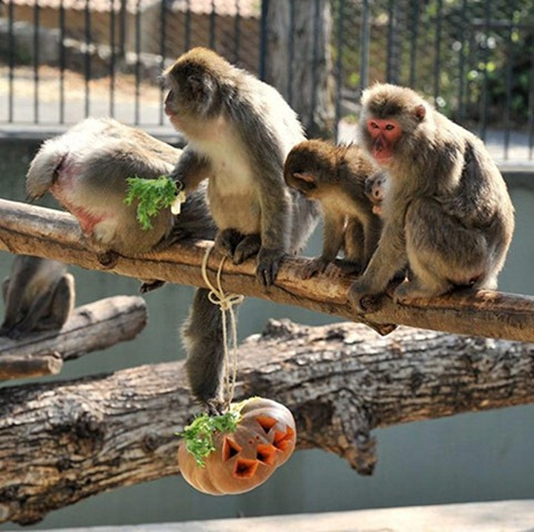 Japanese-macaques-enjoy-p-001