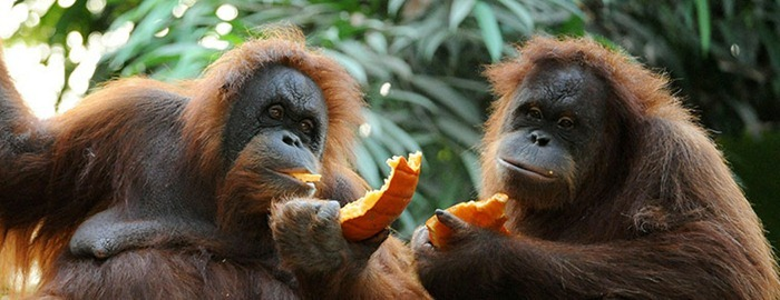 Two-orangutans-share-a-pu-006