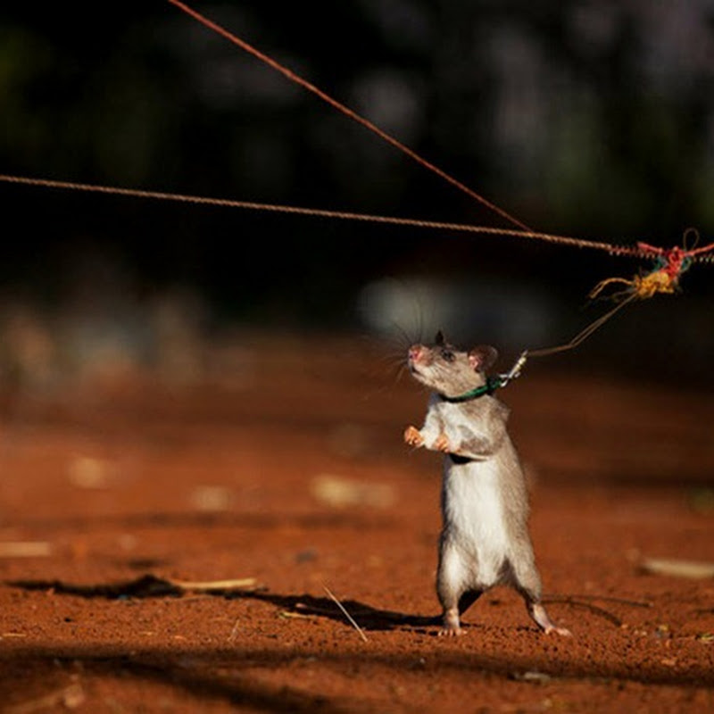 Sniffer Rats Detect Landmines and Tuberculosis in Mozambique