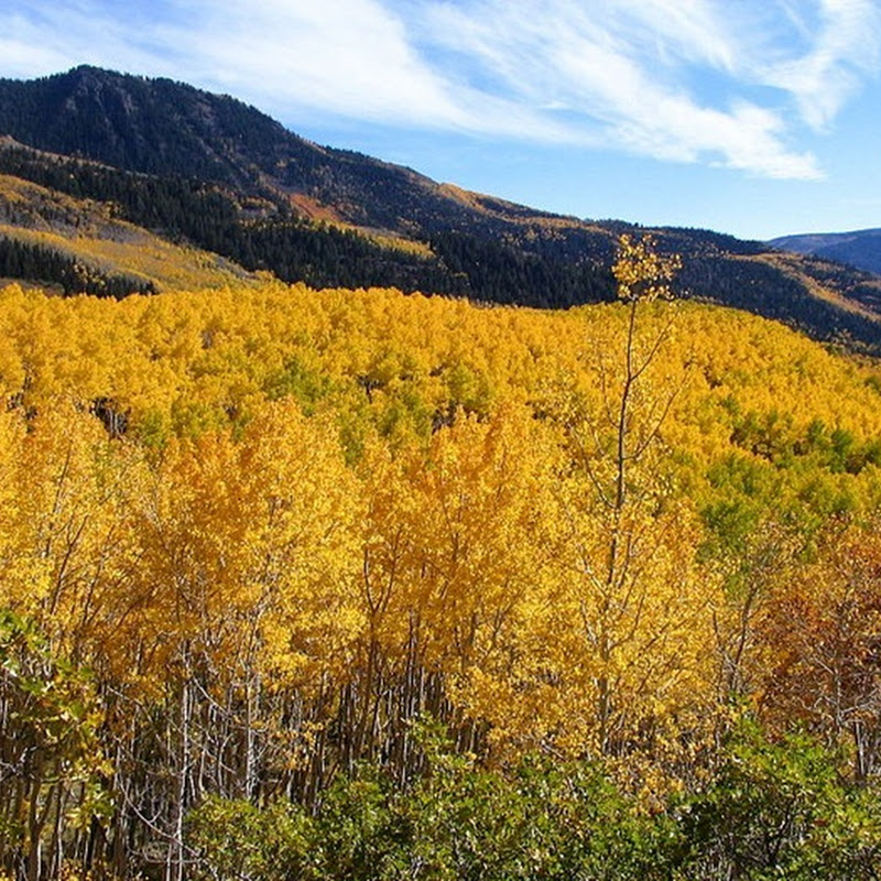 Pando, the Single Largest Living Organism on Earth