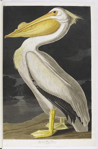 birds-of-america (12)