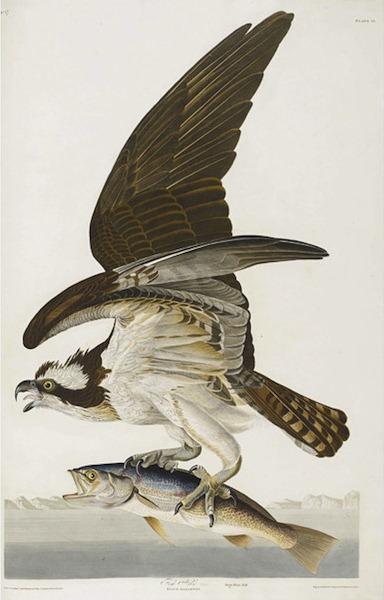birds-of-america (13)