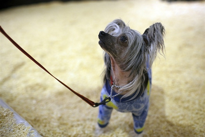 westminister-dog-show-2011-02
