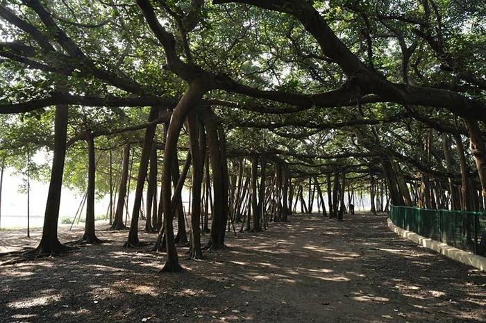 great-banyan-tree6