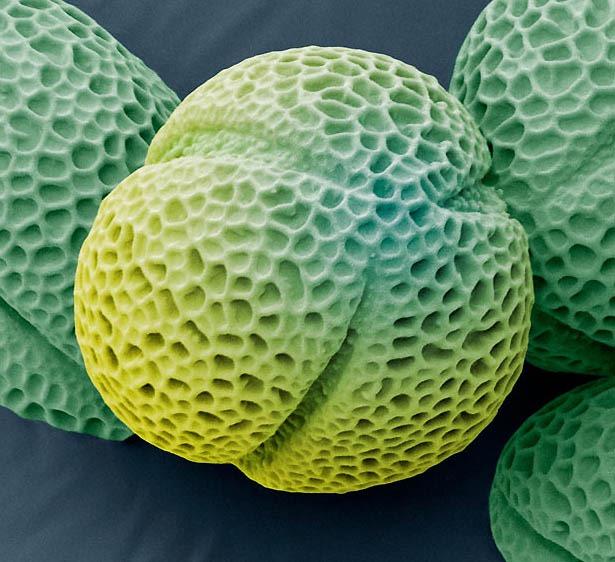 pollen07