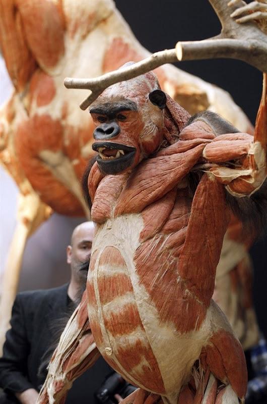 Gorilla Muscle Structu...